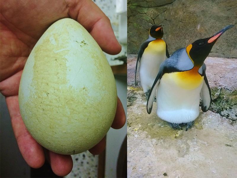 King Penguin egg hatching