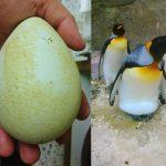 King Penguin Eggs at Birdland