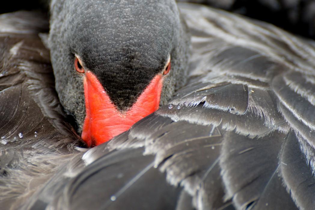 Black Swan at Birdland