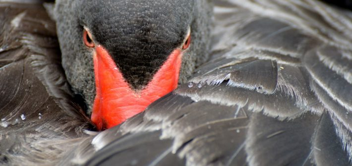 Black Swan at Birdland