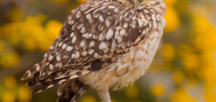 Burrowing Owl and at Birdland