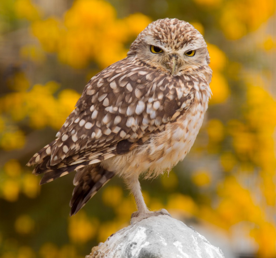 Burrowing Owl and at Birdland