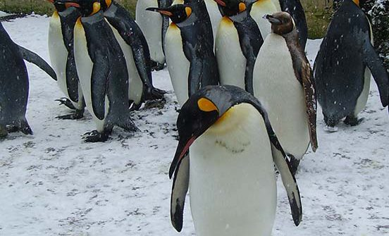 Snowing Penguin 1 552x335 - Thursday 14th December - CLOSED due to ice