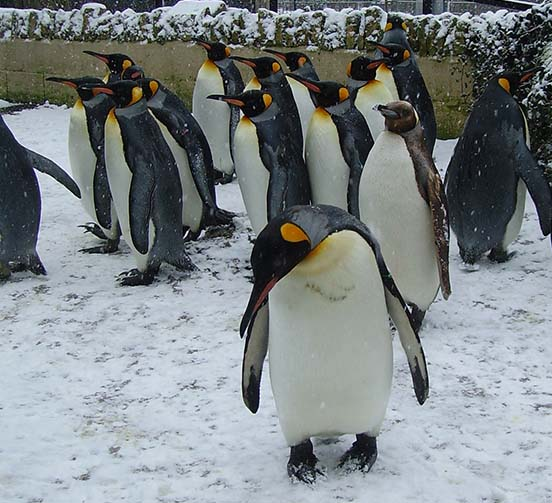 Snowing Penguin 1 - Thursday 14th December - CLOSED due to ice