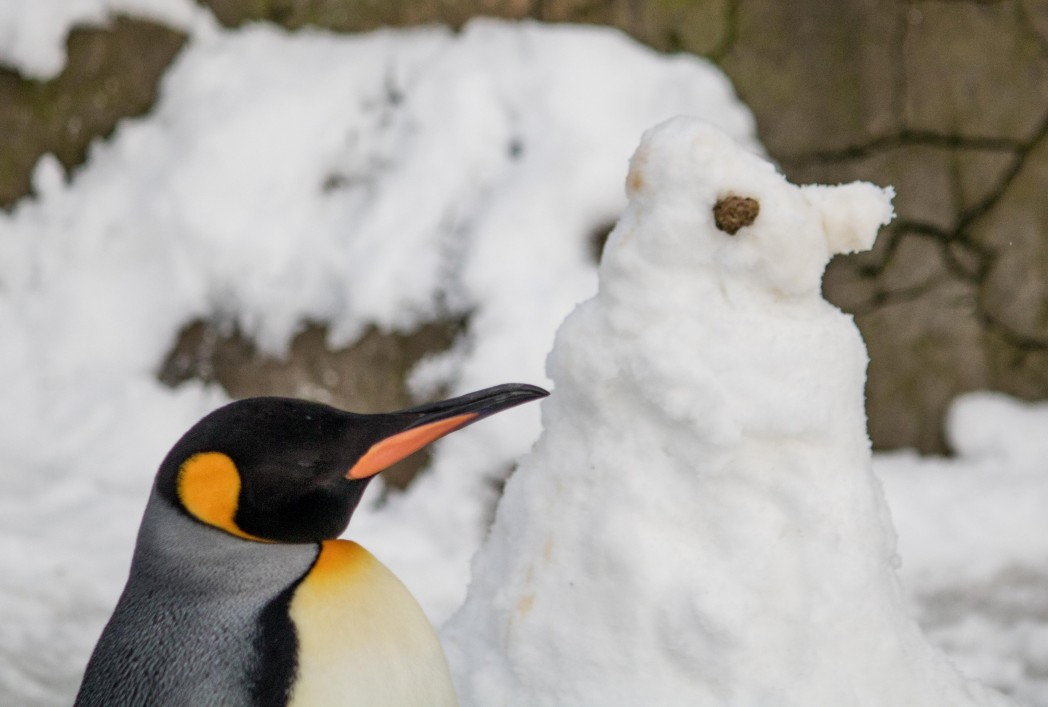 King Penguin 12 lo 1 of 1 1 - Frosty Welcome For Birdland's New 'SnowPenguin'