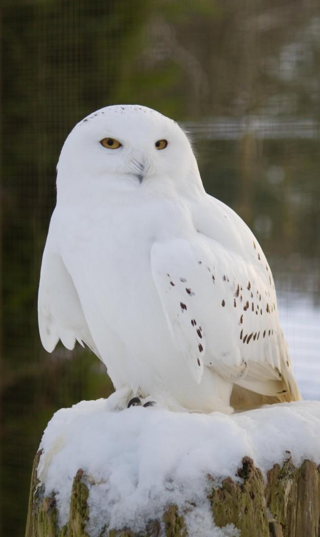 Snowy Owl at Birdland Park & Garden