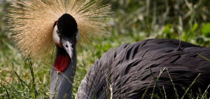 Crowned Crane at Birdland Park & Gardens Gloucestershire