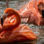 Flamingo Facts at Birdland