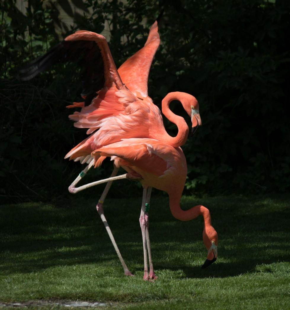 Out of Africa Flamingos at Birdland Park & Gardens