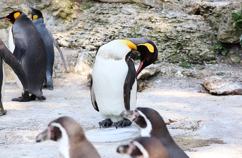 WEB King penguin on ice at Birdland Park and Gardens PIC John Lawrence 1 - Ice Blocks Helping Penguins Chill Out