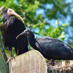 Critically Endangered Waldrapp Ibis at Birdland