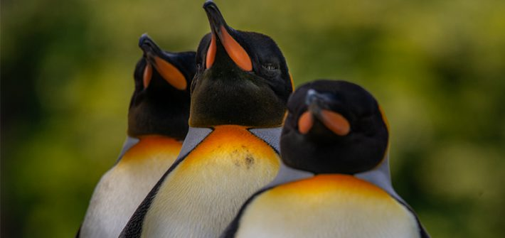 Penguins at Birdland Park & Garden