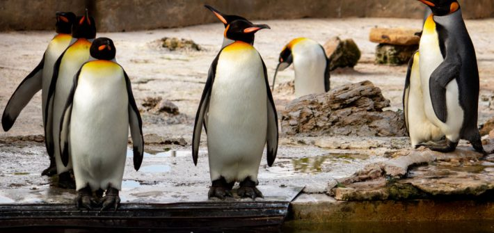 21 Aug How many penguins 1 1 710x335 - 10 fun facts about penguins