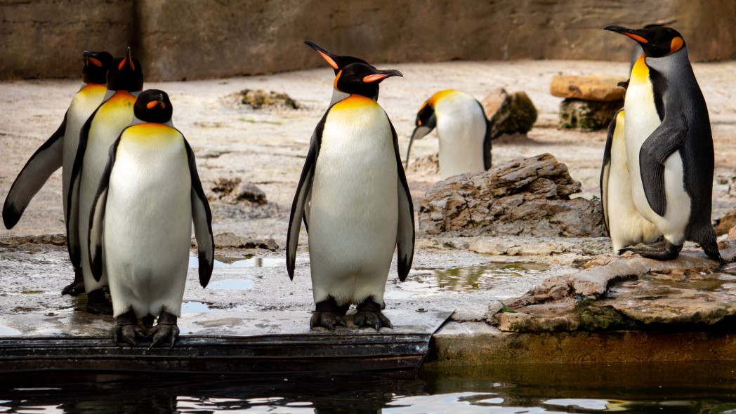 21 Aug How many penguins 1 1 - 10 fun facts about penguins