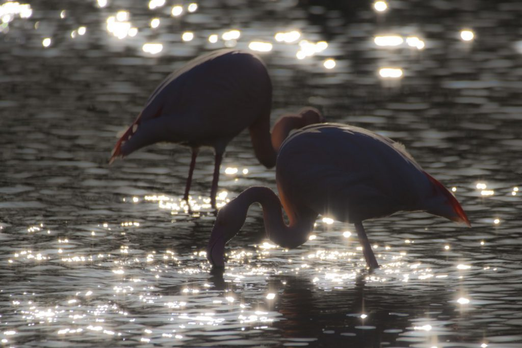 Dreamy Flamingos 1 1 1024x683 - 10 fun facts about flamingos
