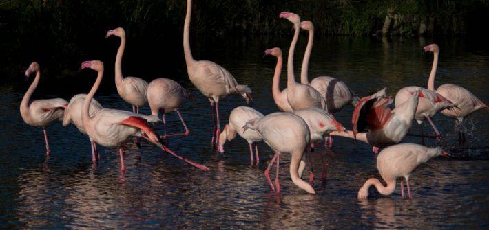 Flamingo group 1 of 1 1 710x335 - 10 fun facts about flamingos