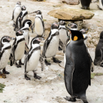 King Penguins at Birdland Park & Gardens