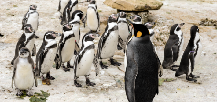 King Penguins at Birdland Park & Gardens