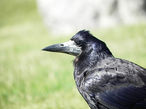 Crow at Stonehenge 1 - Curious About Crows this Halloween