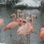 Flamingos Snowing
