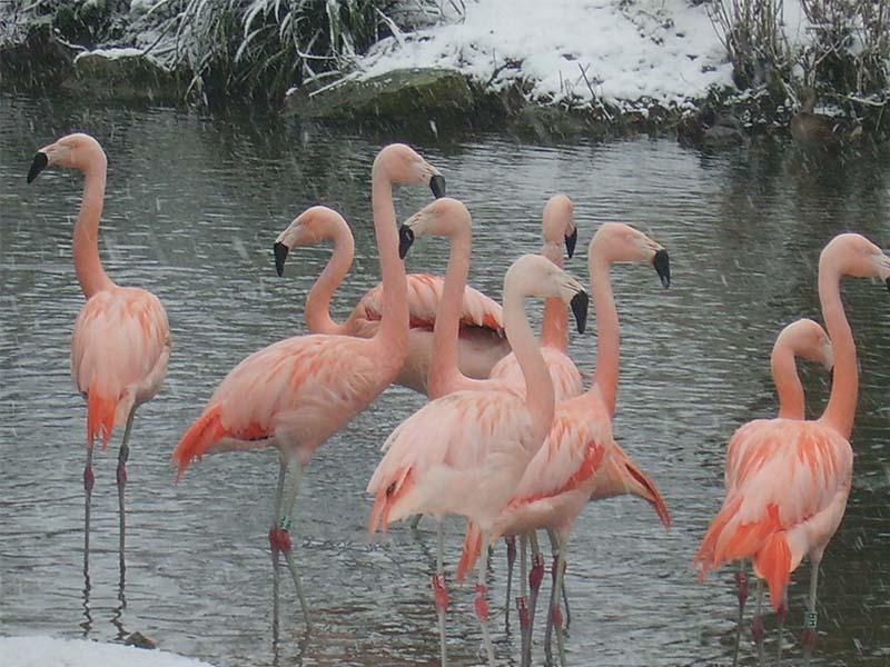 Flamingos Snowing