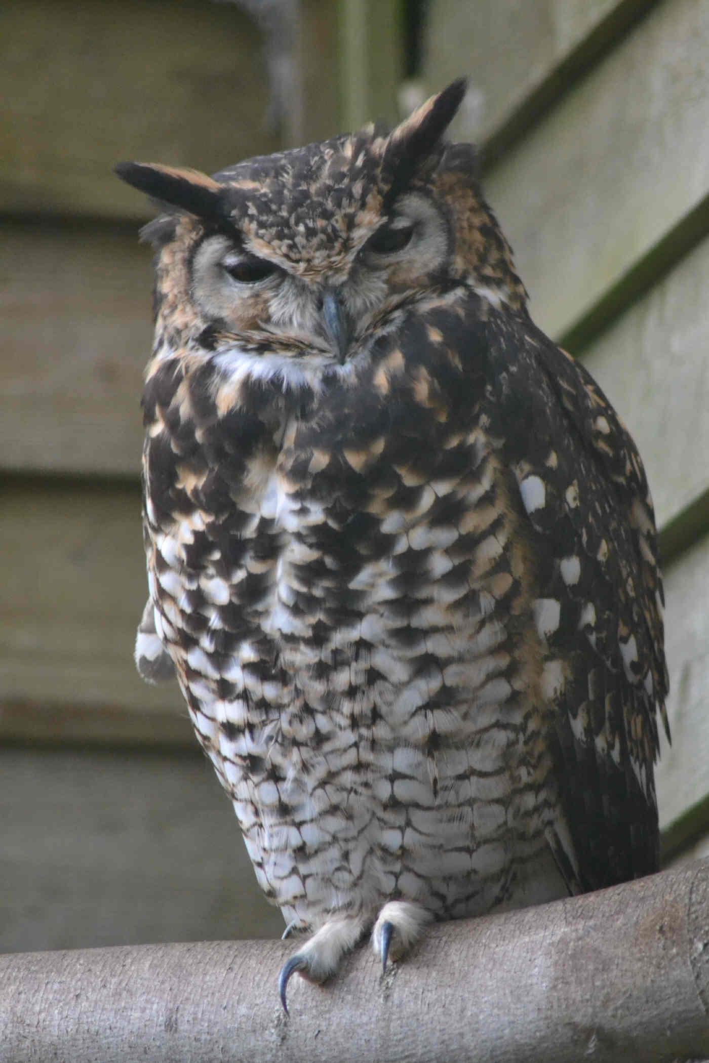 MacKinder's Owl