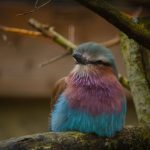 jan 2020 Lilac breasted roller3 8510 150x150 - Birdland May Update