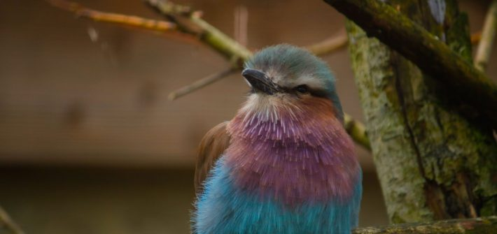 jan 2020 Lilac breasted roller3 8510 710x335 - Birdland May Update