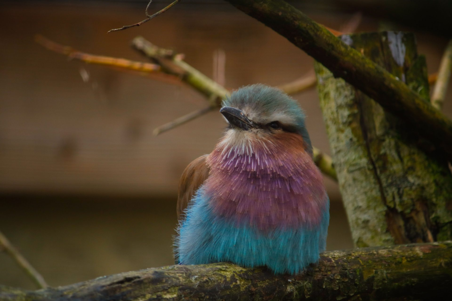 jan 2020 Lilac breasted roller3 8510 - Birdland May Update