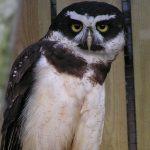 spectacled Owls at Birdland