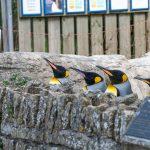 King Penguins in lockdown