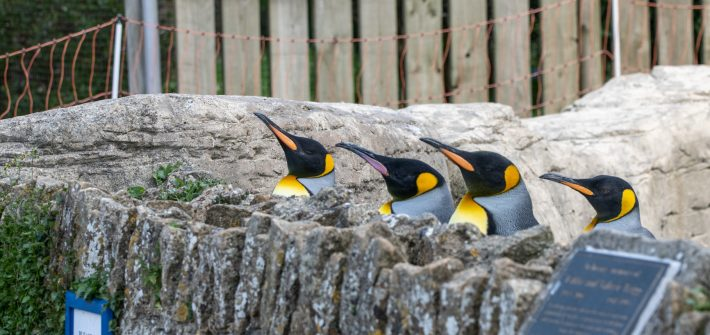 King Penguins in lockdown