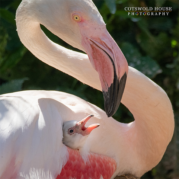 Flamingo chick at birdland - Fluffy Flamingo Chicks