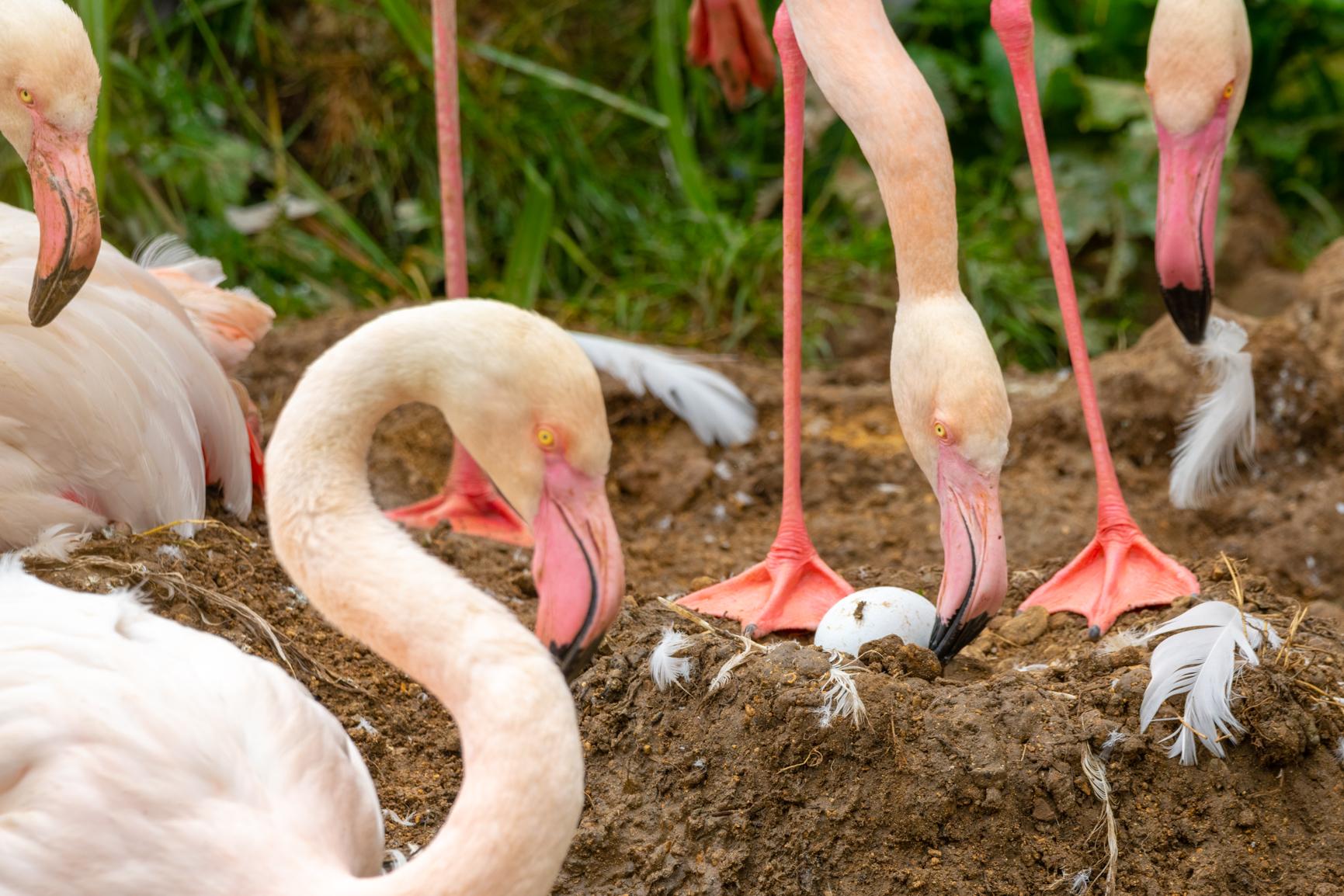 Greater Flamingo Eggs