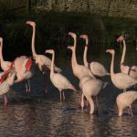 Group of Flamingos at Birdland photo credit Cotswold House Photography 150x150 - Information for Visitors