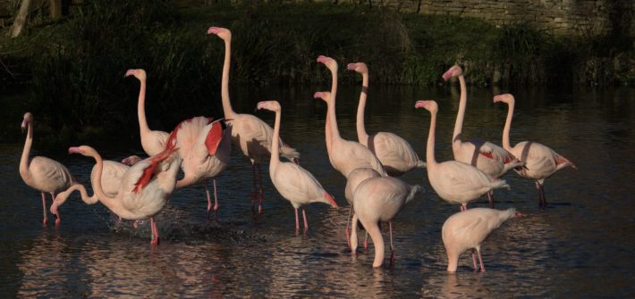 Group of Flamingos at Birdland - photo credit - Cotswold House Photography