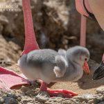 flamingo chick at birdland park 150x150 - Fluffy Flamingo Chicks