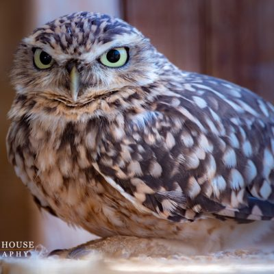 Burrowing Owl at Birdland Park & Gardens