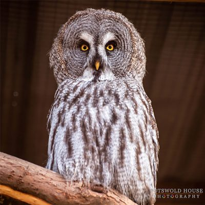 Great Grey Owl at Birdland Park & Gardens