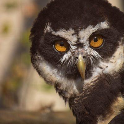 Spectacled Owl at Birdland Park & Gardens