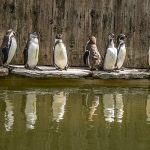 web Eight New Humboldt Penguin Chicks being shown around by current residents at Birdland Park Gardens. Photo credit Cotswold House Photography 150x150 - New Arrivals Flock to Birdland Park & Gardens