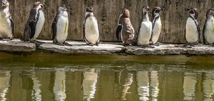 web Eight New Humboldt Penguin Chicks being shown around by current residents at Birdland Park Gardens. Photo credit Cotswold House Photography 710x335 - New Arrivals Flock to Birdland Park & Gardens