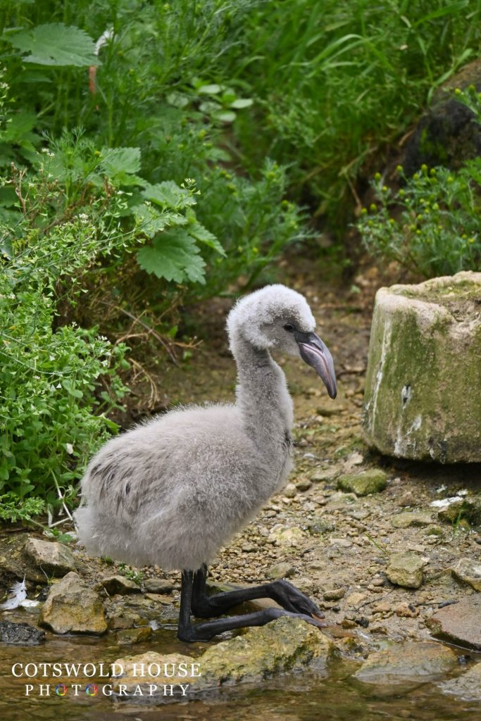 Flamingo Chick at Birdland Park and Gardens credit Cotswold House Photography 683x1024 - October Half Term 2021