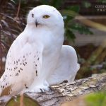 Snowy Owl at Birdland Park and Gardens credit Cotswold House Photography 150x150 - October Half Term 2021