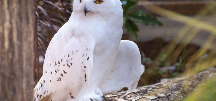 Snowy Owl at Birdland Park and Gardens credit Cotswold House Photography 710x335 - October Half Term 2021