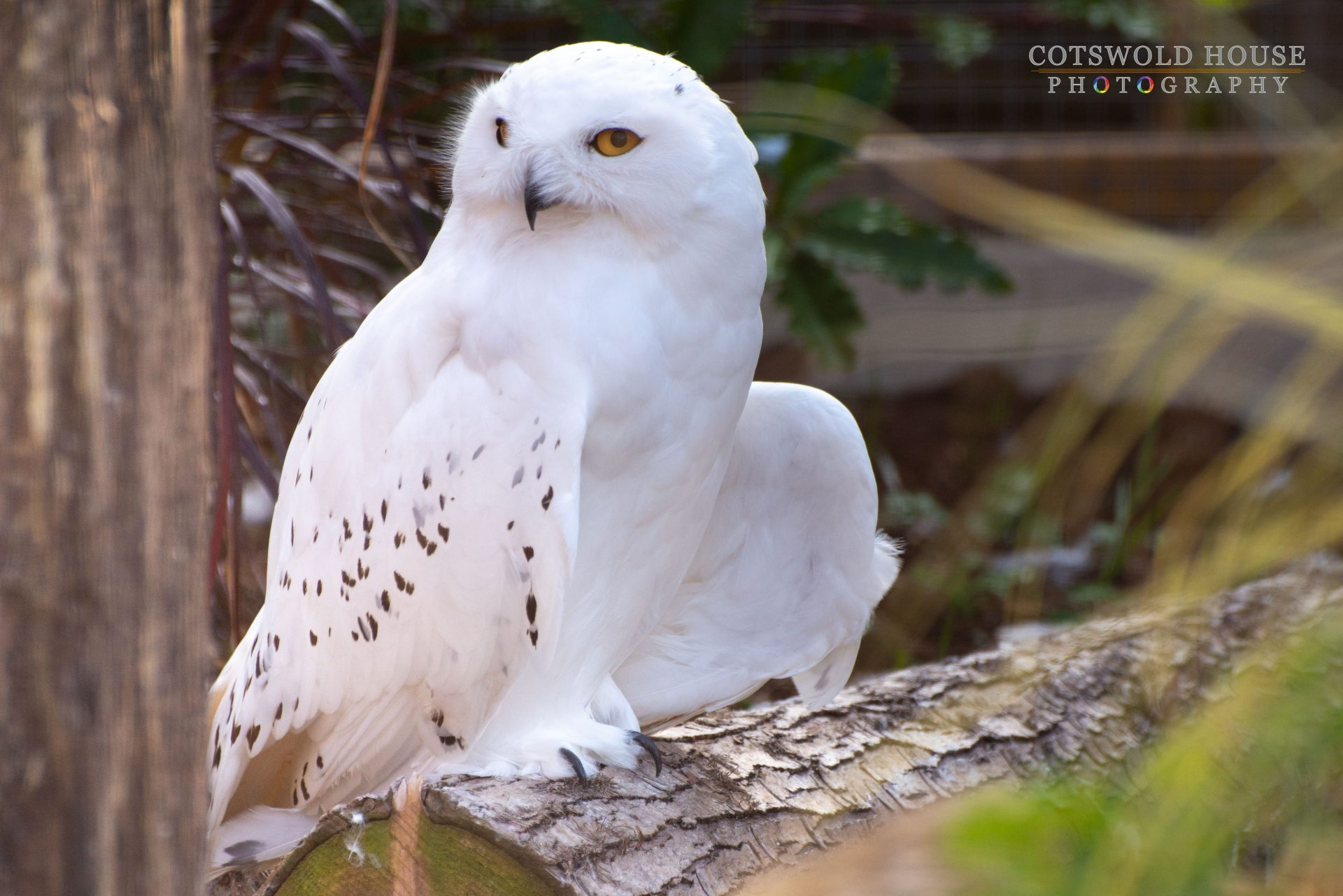 Snowy Owl at Birdland Park and Gardens credit Cotswold House Photography - October Half Term 2021
